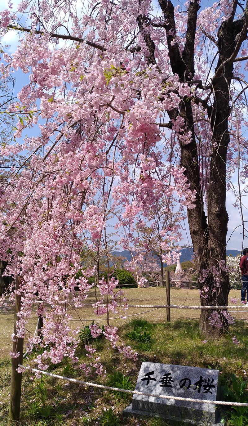千光寺公園の千垂の桜