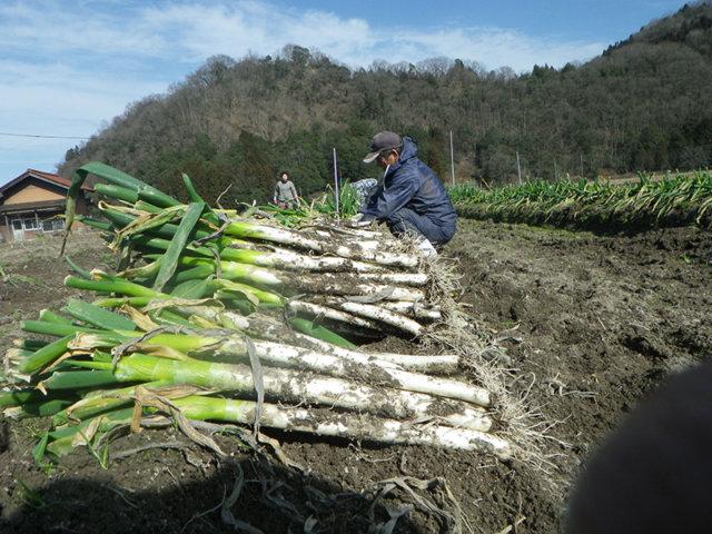 ファーム安芸高田 白ネギの収穫風景
