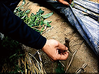 手間暇かけた健康的な土で自慢 のトマトを栽培しています。