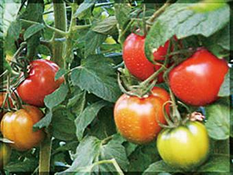 栽培の難しい実生栽培