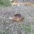 広島市西区の川土手でカピバラに似たアイツを発見しました!